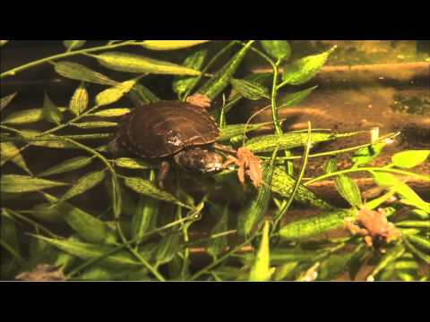 Saving the Southwestern Pond Turtle