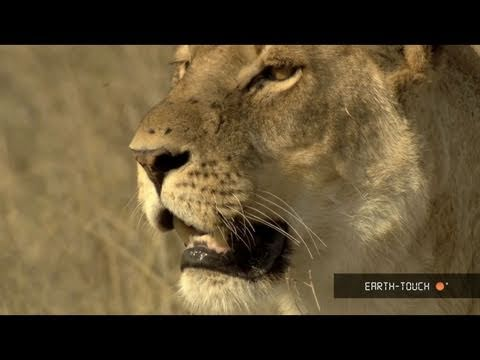 Lions of Moremi Highlights 15