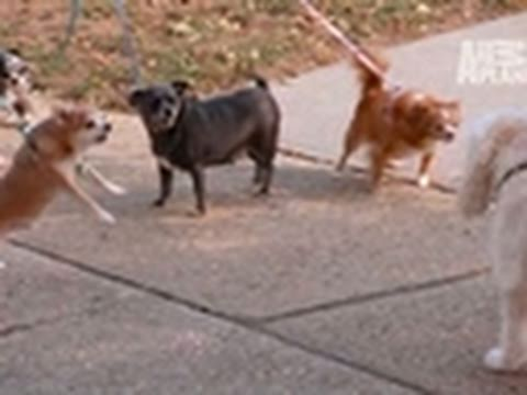 It's Me or the Dog- How NOT to Walk Six Chihuahuas