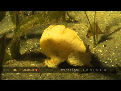 Crab on the hunt & the strangest fish