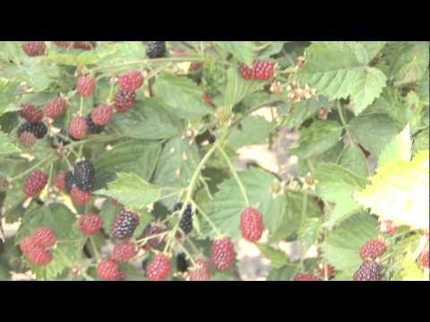 How To Harvest Blackberries