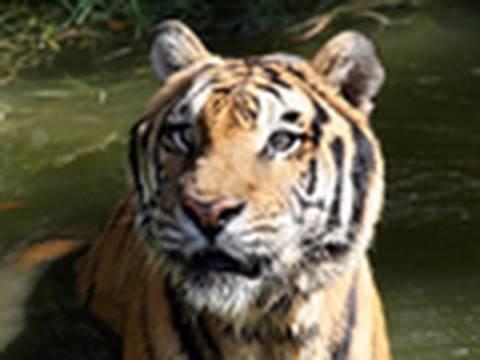 R.I.P Snorkel the Tiger ...