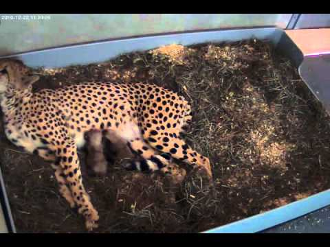 National Zoo Celebrates First Cheetah Births at the Smithsonian Conservation Biology Institute