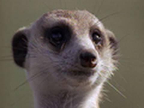 Meerkat Mischief
