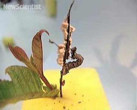 Zombie caterpillar controlled by voodoo wasps