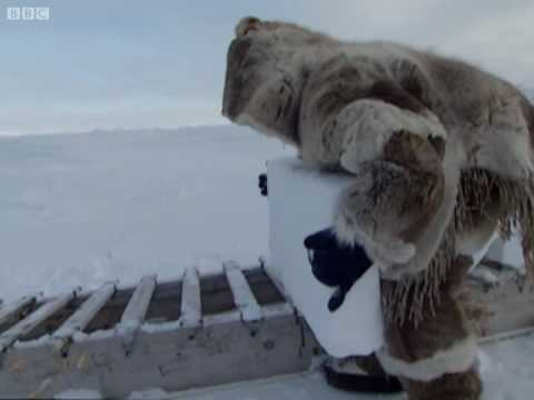 My first igloo - A Boy Among Polar Bears - BBC