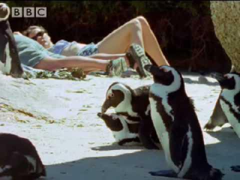 Penguin lovelife - African Penguins - BBC wildlife
