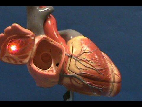 Heart Model II - Right Atrium