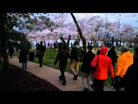 Stand With Japan, Cherry Blossom Walk (Japanese)