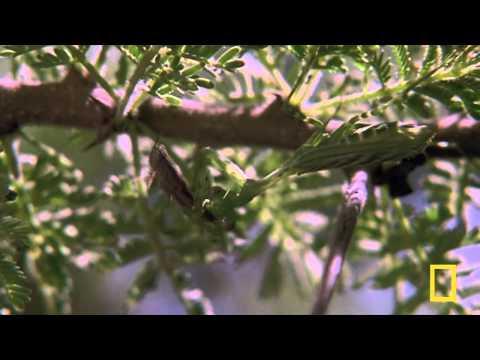 Praying Mantis vs. Grasshopper