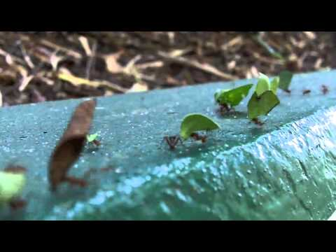 leaf cutter ants at a dead end and an intruder