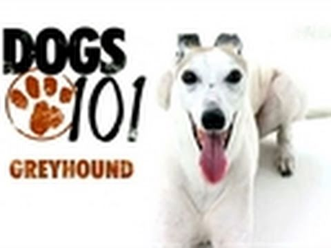 Dogs 101: Greyhound