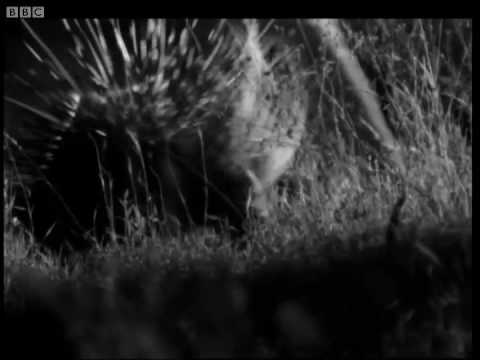 Prickly porcupine hunted by wild cats - Cats Under the Serengeti Stars - BBC