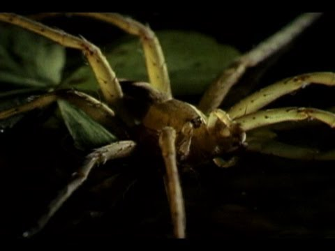 Fishing Spider vs. Frog