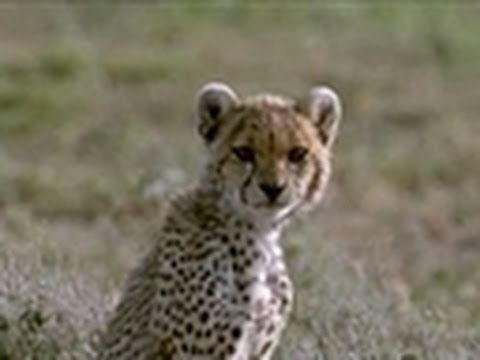 Wild Kingdom- Cheetah vs. Gazelle