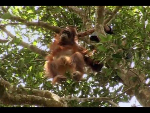 A Dangerous Rescue - Orangutan Diary - BBC