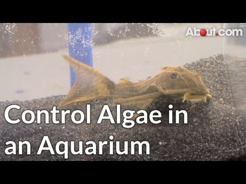How to Control Algae in an Aquarium