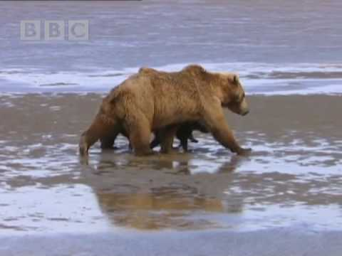 Mother Bear and Cubs - Big Bear Diary - BBC Earth