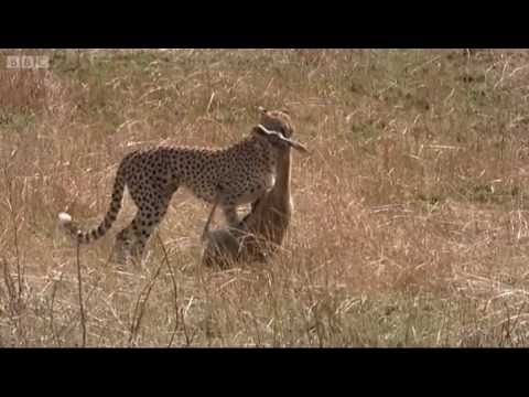 Cheetah hunting gazelle - Big Cat Diary - BBC