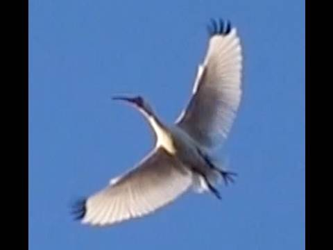 White Ibis White Bird Takes Flight  Relaxation Video Slow Motion Casio EXILIM Pro EX-F1 at 300 fps