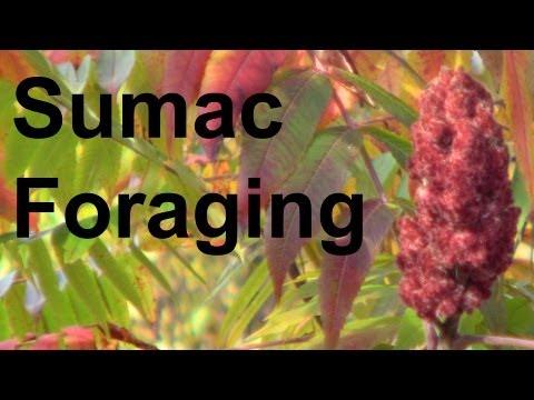 Foraging: Harvesting Staghorn Sumac GardenFork.TV