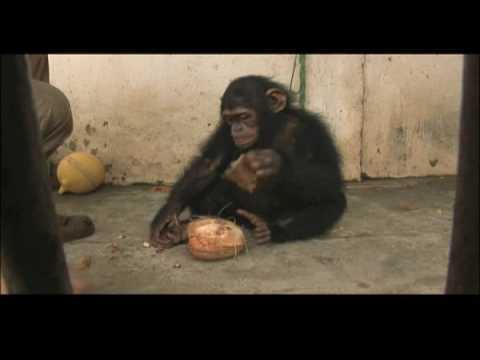 Escape to Chimp Eden - Coconut
