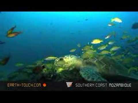 Turtle feasts on razor clams