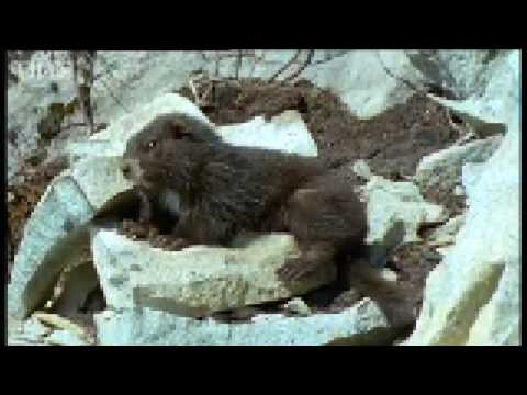 Cute marmots waking up from Hybernation - BBC Animals