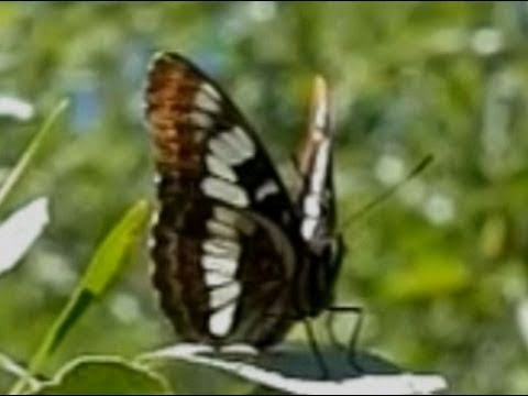 Slow Motion Butterflies - Casio EX-F1 Upscaled to 720p HD