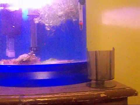 Angelfish fry update  August 17 2011