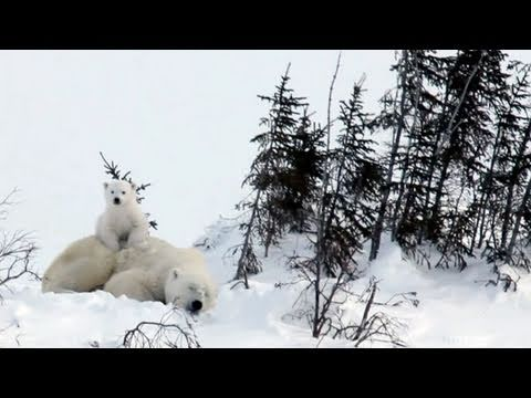 Polar Bear Cubs in Big Trouble
