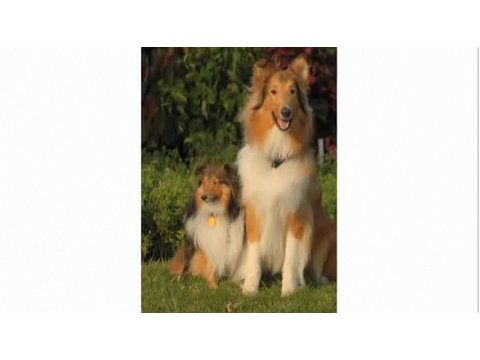 Understanding Dog Breeds: Collie