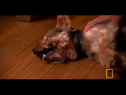 Dog Whisperer: Blind Terrier