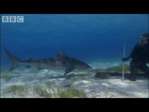Swimming with Tiger Sharks - Shark Therapy - BBC Animals