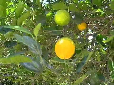 Navel oranges on a Tree