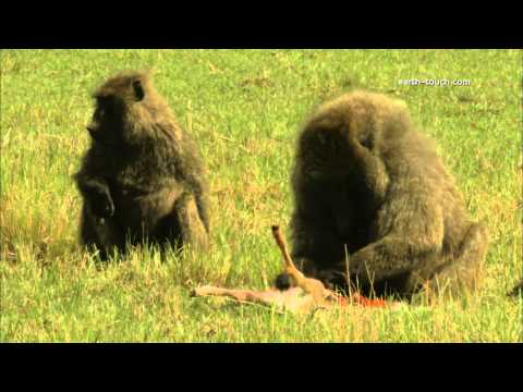 Graphic content warning: Baboon eating gazelle alive