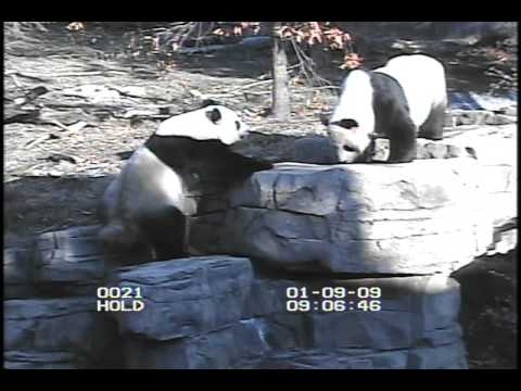 Giant Panda Artificial Insemination