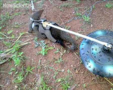 Mongoose and robot duo sniff out landmines