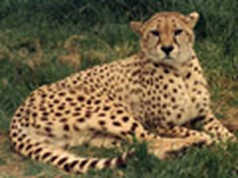 COUGAR + CHEETAH = Big Cat Success!