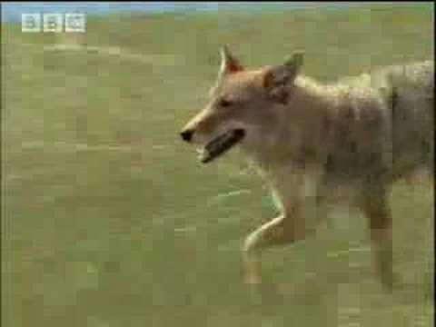 Controlling the coyote population - BBC wildlife
