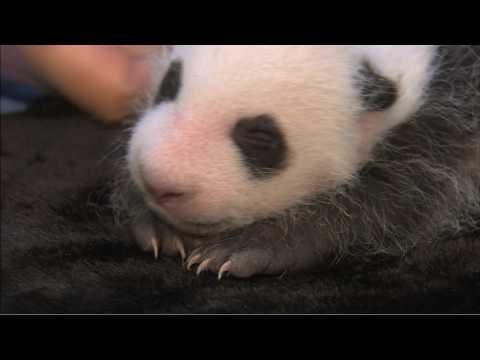 Panda Cub First Exam