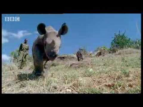 Baby rhino calf finds friends in the wild after abandoned by mother- BBC wildlife
