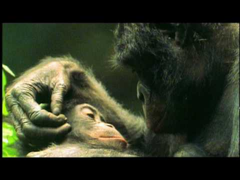 NOVA | The Last Great Ape | PBS