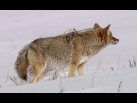 Coyote vs Bald Eagles - Yellowstone - BBC