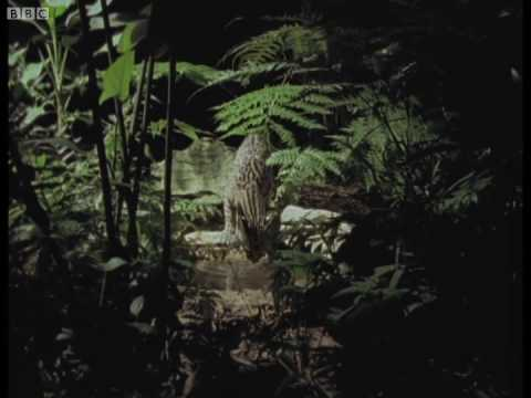 Paparazzi animals on the hunt - Jungle Nights - BBC