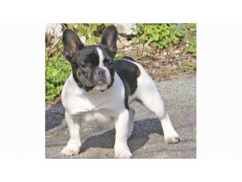 Understanding Dog Breeds: French Bulldog