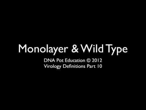 Monolayer. Wild-type Virus