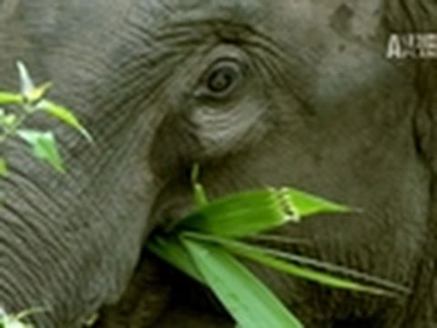 Wild Kingdom- China's Last Elephants