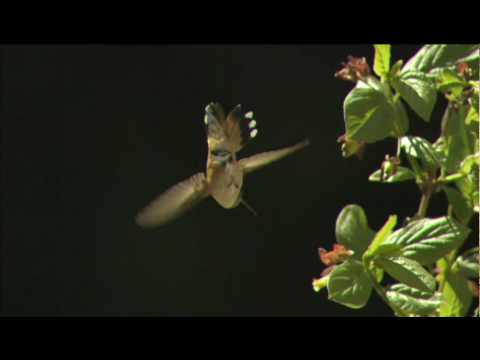 NATURE | Hummingbirds: Magic in the Air | Preview | PBS