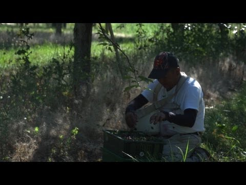 Climate Change Lays Off Farm Laborers in Michigan